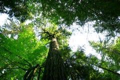 Pazifischer Nordwestwald und Douglas-Tannenbäume lizenzfreie stockfotografie