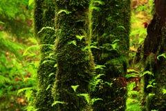 Pazifischer Nordwestwald und Rebahornbäume Lizenzfreie Stockfotos
