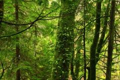 Pazifischer Nordwestwald und Rebahornbäume Lizenzfreie Stockfotografie