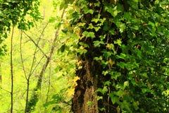 Pazifischer Nordwestwald und Roterlebaum Lizenzfreies Stockbild
