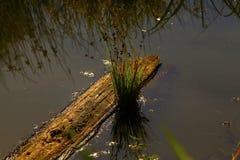 Pazifischer Nordwestwald und Teich mit Gräsern Stockfoto