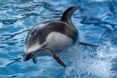 Pazifischer Weiß-mit Seiten versehener Delphin Stockbilder