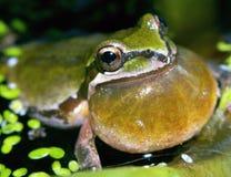 Pazifisches Baum-Frosch Benennen Stockfotografie