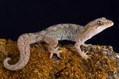 Pazifisches Gecko Dactylocnemis-pacificus stockfoto