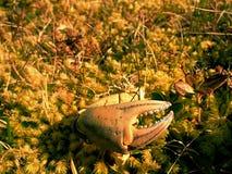 Pazur krab Łamany i suchy pazur odizolowywający na mechatym kamieniu Miejsce dokąd seaguls karmią ich chwytów Fotografia Royalty Free