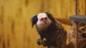 Pazurczatka trakenu małpa zbiory wideo