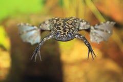 pazurzasta Afrykanin żaba obrazy stock
