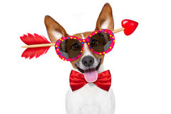 Pazzo nel cane dei biglietti di S. Valentino di amore fotografie stock