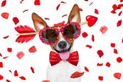 Pazzo nel cane dei biglietti di S. Valentino di amore immagine stock