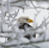 PBald örnsammanträde i ett träd USA _ Chilkat flod royaltyfria foton