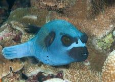 PBlackspotted puffer Arothron nigropunctatus pływa nad rafą koralowa Bali, Indonezja fotografia stock