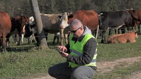 PC ταμπλετών χρήσης της Farmer κοντά στις αγελάδες φιλμ μικρού μήκους