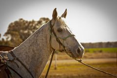 Pchła gryźć popielaty urzędnik kursu akcyjny koń Obrazy Royalty Free