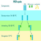 Pcr cycle stages Royalty Free Stock Photography