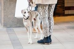 Pełen wdzięku hiszpański charcica pies stoi bezczynnie właściciela na ulicie obrazy stock
