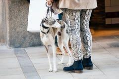 Pełen wdzięku hiszpański charcica pies stoi bezczynnie właściciela na ulicie zdjęcie stock