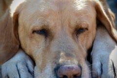 Pełny ramowy Labrador retriever psa dosypianie fotografia royalty free