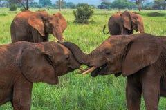 Peça brincalhão dos elefantes do rebanho no Serengeti Imagens de Stock Royalty Free