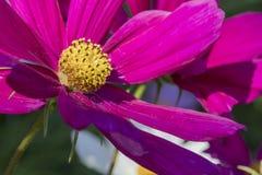 A peça da cabeça da flor cor-de-rosa do cosmea fotos de stock royalty free