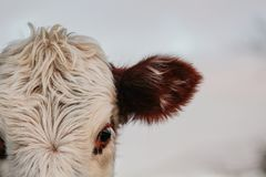 Peça da cabeça da vaca, cara animal que olha na câmera fotos de stock royalty free