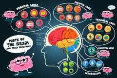 Peças de Infographic e funções do cérebro Fotos de Stock Royalty Free
