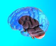 Peças do cérebro, órgão, estrutura Fotos de Stock Royalty Free