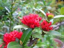 Peônia, árvore tradicional, medicina imagem de stock royalty free