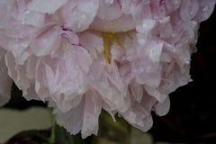 Peônia branca com gotas da chuva em suas pétalas em uma exposição bonita da complexidade floral imagem de stock
