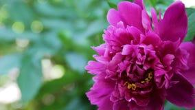Peônia cor-de-rosa bonita que balança no vento vídeos de arquivo