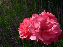 Peônia cor-de-rosa com flores da alfazema Foto de Stock Royalty Free