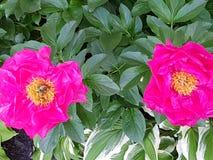 Peônia cor-de-rosa dobro Fotografia de Stock Royalty Free