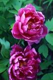 Peônia cor-de-rosa, peônia europeia, ou officinalis comuns do Paeonia da peônia Fotos de Stock Royalty Free