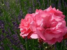 Peônia no campo da alfazema Imagem de Stock Royalty Free