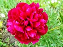 Peônia vermelha nas gotas da chuva fotografia de stock royalty free