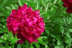 Peônia Vinous em um jardim imagens de stock royalty free