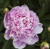 Peônias na flor Foto de Stock Royalty Free