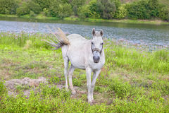 Pełen wdzięku biały koń Fotografia Stock