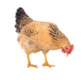 Pełen wdzięku kurczak kłaść karmazynki, czerwony kolor odosobniony Serii fotografie Zdjęcia Stock