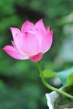 Pełen wdzięku różowy lotos Zdjęcie Royalty Free