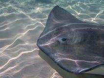 Pełen wdzięku Stingrays w oceanie blisko kajman wysp Obraz Stock
