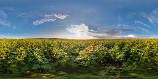 Pełna bezszwowa bańczasta panorama 360 180 stopniami kąta widoku wśród kwitnących słoneczników poly w pogodnym lato wieczór wewną zdjęcia stock