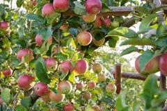 Pełna czerwona jabłko gałąź po środku jabłczanego sadu zdjęcie stock