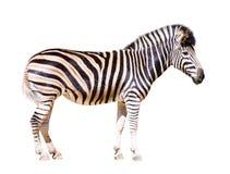 Pełna długość zebra Obraz Royalty Free