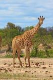 Pełna Obramiająca żyrafy pozycja na równinach w Hwange parku narodowym Zdjęcie Royalty Free