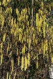 Pełna rama żółta corkscrew leszczyna także znać jako corylus avellana contorta obrazy royalty free