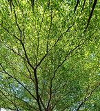 Pełna rama zielony drzewo, gałąź/liść Zdjęcia Royalty Free