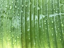 Pełna rama zielony i żółty bananowy liść z wiele podeszczowymi kroplami Zdjęcie Royalty Free