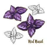 Pełnego koloru nakreślenia realistyczna ilustracja czerwony basil opuszcza Obraz Stock