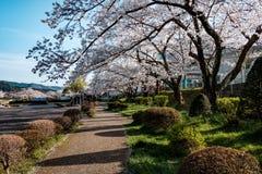 Pełnego kwiatu czereśniowi okwitnięcia w Takayama mieście, Japonia zdjęcia royalty free