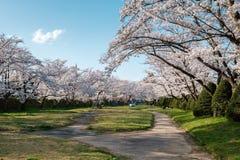 Pełnego kwiatu czereśniowi okwitnięcia w Takayama mieście, Japonia fotografia stock